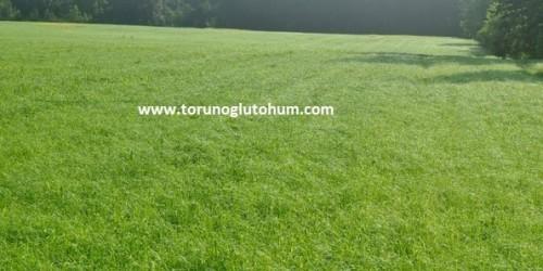 Ot Tipi Teff Grass Özellikleri