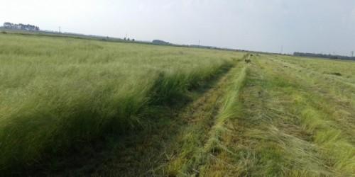 Ot Tipi Teff Grass Ekimi