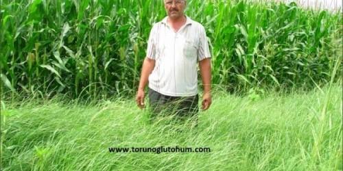 Ot Tipi Teff grass ekim zamanı