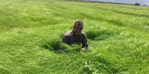Teff Grass Otu Tohumu