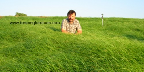 Teff Grass Otu Tohum Fiyatı