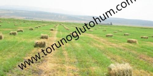 Ot Tipi Teff Grass Kaba Yem Tohumu