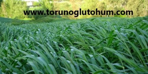 Ryegrass Otu Tohumu